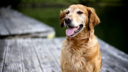 dog, labrador, face