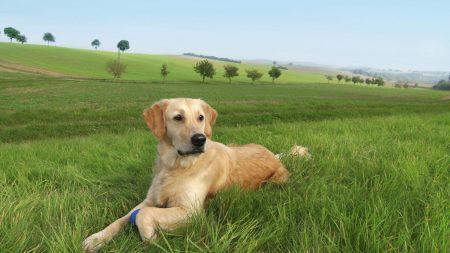 dog, labrador, grass