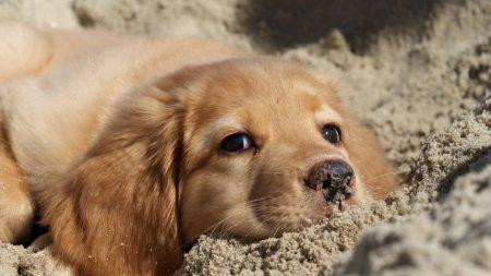 dog, labrador, puppy