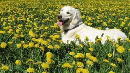dog, labrador retriever, grass