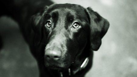 dog, muzzle, black