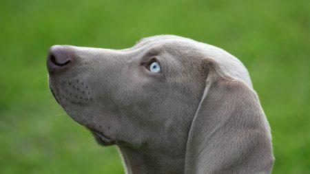 dog, muzzle, blue-eyed
