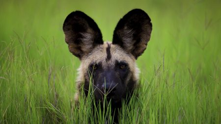 dog, muzzle, ears
