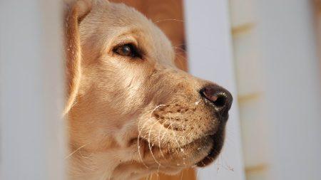 dog, muzzle, labrador