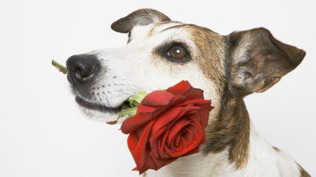 dog, muzzle, rose