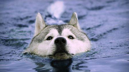 dog, muzzle, swim