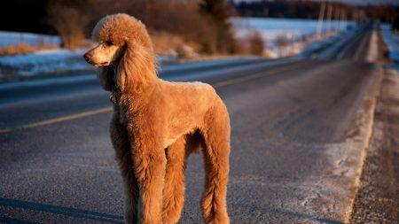 dog, poodle, road