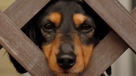 dog, puppy, fence