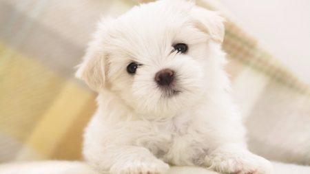 dog, puppy, white