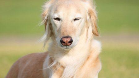 dog, red, eyes