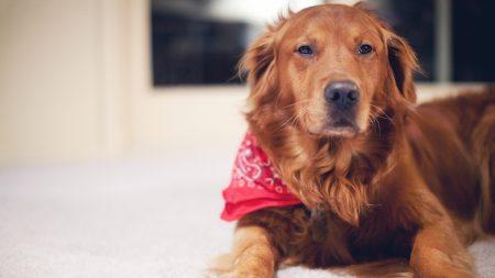 dog, red, tablet