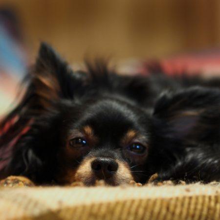 dog, rest, face