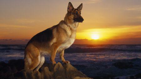 dog, sheep dog, sunset