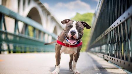 dog, smile, american staffordshire terrier