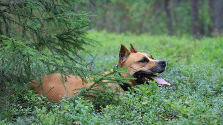 dog, staffordshire terrier, forest