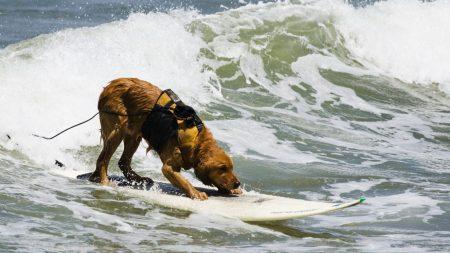 dog, surfing, water
