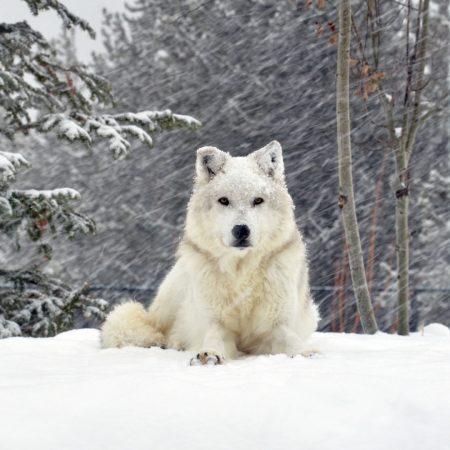 dog, wolf, forest