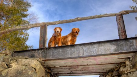 dogs, bridge, couple