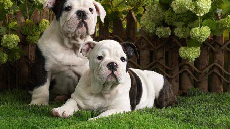 dogs, bulldog, brindle