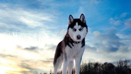 dogs, husky, blue