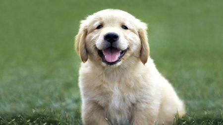 dogs, labrador, color
