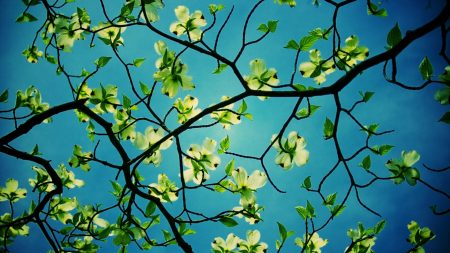 dogwood, flowering, branches