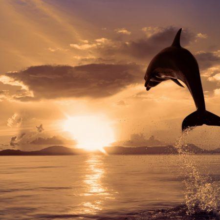 dolphin, jumps, sunset