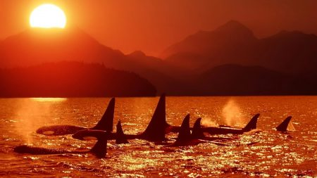 dolphins, killer whales, sea