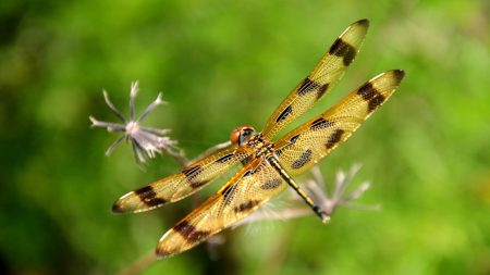 dragonfly, insect, flying