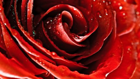 drops, red rose, flower