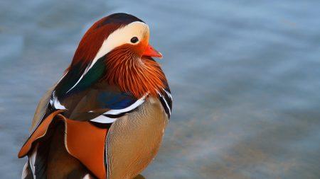 duck, mandarin duck, large