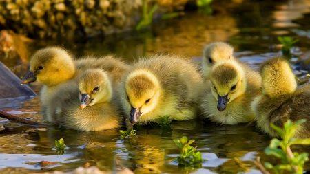 duck, river, birds