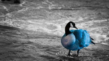 duck, sea, color