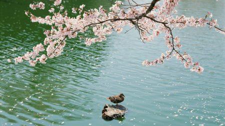 duck, stone, spring