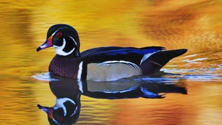 duck, swim, wings