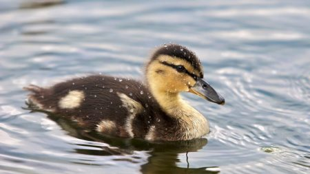duckling, spotted, water