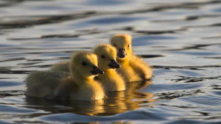 ducks, swim, water