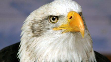 eagle, beak, bird