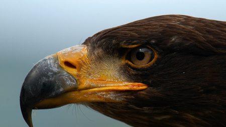 eagle, beak, predator