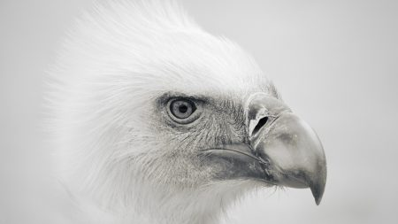 eagle, bird, beak