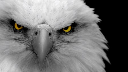 eagle, bird, predator