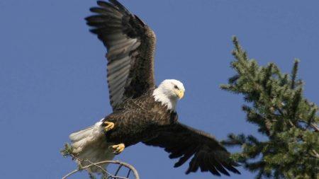 eagle, bird, wings