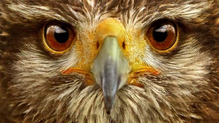 eagle, eye, bird