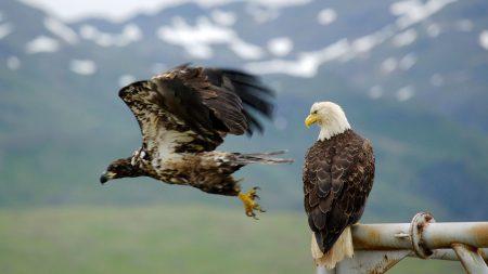 eagle, falcon, bird