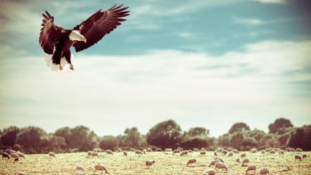 eagle, field, flight
