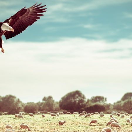eagle, field, flight