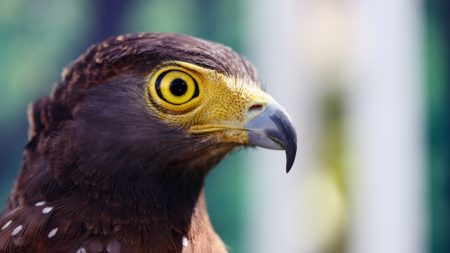 eagle, head, beak