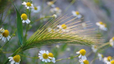 ear, chamomile, field