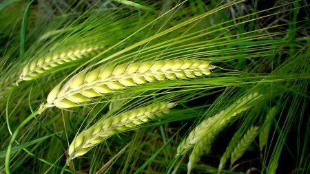 ears, field, green
