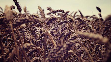 ears, field, rye